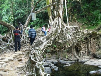 The Living Root Bridge above